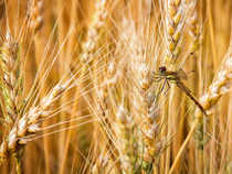 Farmers selling wheat to private traders were getting anywhere between Rs 1,400 a quintal which was the minimum support price to Rs 1,500 a quintal.