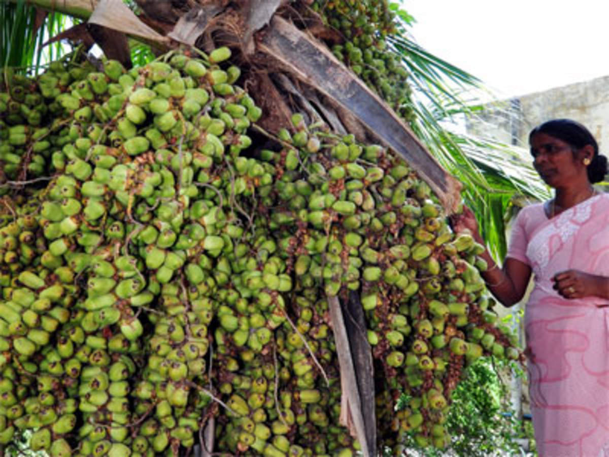 Farmers bet on dwarf coconut seedlings in the country - The Economic