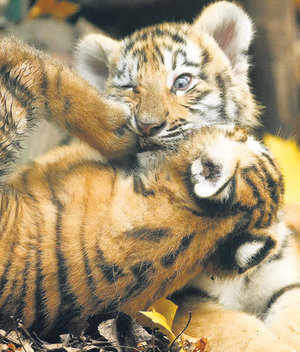 Latest census figures released this year show a mere 1,411 tigers alive, compared to 3,508 in 1997, a drastic dip of 60% (TOI Photo)