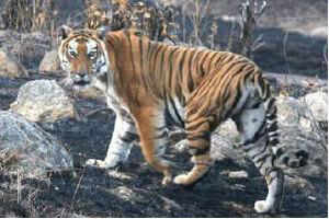 UttarPradesh is witnessing a spurt in the number of tigers straying out of protected areas, preying on humans and receding to their lairs.