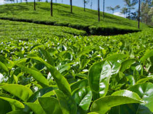 According to industry executives, India's tea exports to Pakistan are unlikely to achieve 20 million kg in fiscal 2015. Exports totalled 19.92 million kg last year.