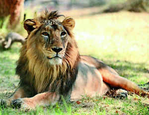 The lion is believed to be around one-and-a-half-year old. The decomposed body was found some 10 km away fromJunagadhtowardsBilkhaRoad. The carcass suggested that the lion might have died two days ago.