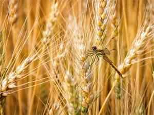 The research paperfound that air pollution caused wheat yields in densely populated states to be 50 per cent lower than 2010.