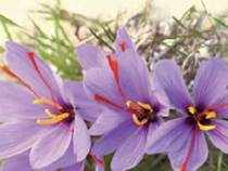 Iran produces 95 per cent of the world's saffron. India, along with Spain, Italy, Greece, Morocco and Ajerbaijan, produce the rest. Kashmir is India's only saffron producing centre.