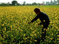 Mustardseedfor delivery in May plunged byRs57, or 1.59 per cent, toRs3,539 per quintal, in an open interest of 3,150 lots.