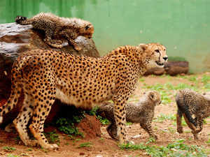 The MP forest department needs to reserve 700 sq km area for the imported cheetahs to dwell in the sanctuary, spread over 1,197 sq km.