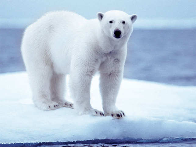 Polar Bearsare staring at extinction if something is not done immediately. And this only makes it worse since reproduction is going to be harder for them than before.