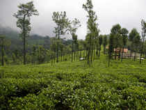 However, this year, initial reports suggest the dry weather prevailing in the African nation may affect its tea production.