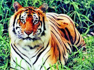 A countrywide count of India's tigers takes place every four years and the result of the latest census was released last month. It showed a 30% rise in tiger numbers since 2010.