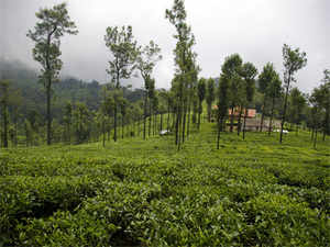 In recent years, the shortage oflabourin tea estates had also thrown up a challenge to meet targets in production, thereby necessitating the option ofmechanisationin plucking.