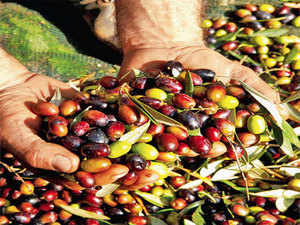 Italian olive crisis makes mediterranean diet more costly