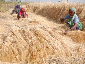Punjab has been eyeing bumper production this season on account of prolonged cold conditions and the absence of any widespread attack of crop disease.