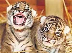 A day after a male tiger cub was killed by poachers inside the farm owned by deputy speaker of Madhya Pradesh Assembly Rajendra Singh. (Representative photo)