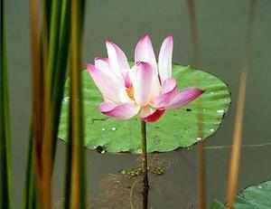 Boating proposed at Bundi's Lotus lake will ruin flower