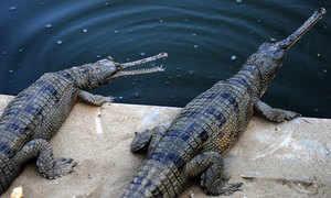Gharial crocodiles. (Getty Images)