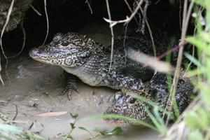 The WCS's Bronx Zoo has successfully reintroduced alligators into the wild that are now multiplying on their own. (Source : WCS)
