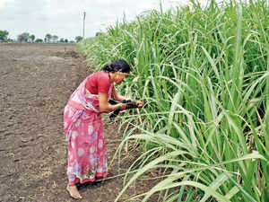 There may not be enough water to drink in the arid Marathwada and Vidarbha regions of Maharashtra, but the guzzling sugarcane crop thrives in these regions.