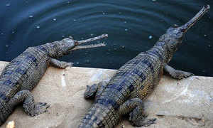 Ghariyal crocodile. (Getty Images)