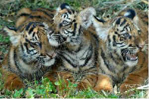 States that have reported the maximum number of tiger deaths include Karnataka, Madhya Pradesh, Maharashtra and Tamil Nadu.