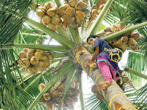Coconut industry opting dwarf palms due to shortage of