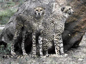Argentinean scientists have successfully produced embryos of endangered species such as Asiatic cheetah, tiger and Bengal cat using frozen skin cells.