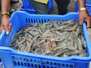 At a record 3.53 lakh tonnes, farmed vannamei shrimps accounted for 67% of India's seafood export of Rs 33,441 crore in 2014-15.