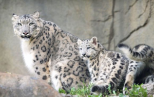 A snow leopard with her cubs. (AFP photo)