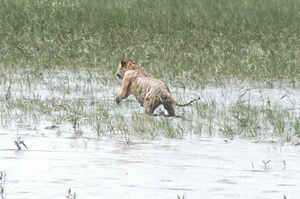 File photo of a tiger at Sunderbans. (TOI photo)