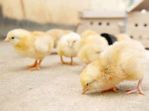 (Representative Image) Nanaji Deshmukh Veterinary Science University in Jabalpur district has developed the new breed of chicken christened 'Narmada Nidhi'.
