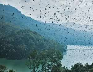 Amur falcons come to Doyang every year in millions.