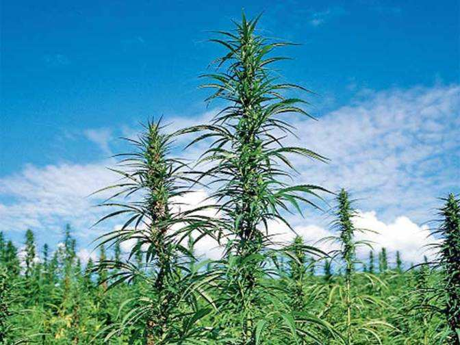Hemp cultivation: Uttarakhand's plan to hand out licences to