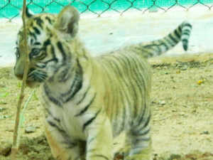 Death of four tiger cubs has occured reportedly due to starvation in Chandrapur district in Maharashtra.