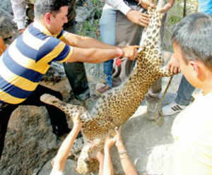 Officials pulling out carcass of the leopard.