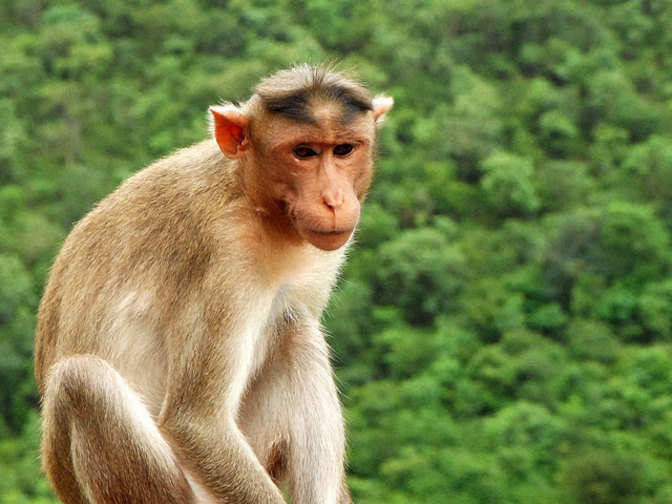 Monkey Fever Grips Goa Taluka; Locals Averse To Vaccine