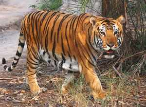 A tiger near vehicle track passing through a wildlife sanctuary. (Representative photo)