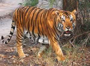 A tiger near vehicle track passing through a wildlife sanctuary. (Representative photo)