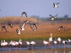 Group of Brown Headed Gull Fly as Flamingo's at the backdrop at Bhigvan, Pune.