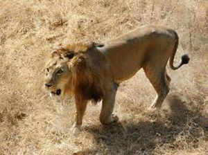 Of 523 big cats, 167 are out of protected areas.