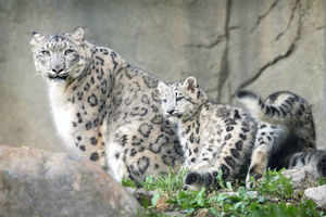 A snow leopard with her cub. (File photo)