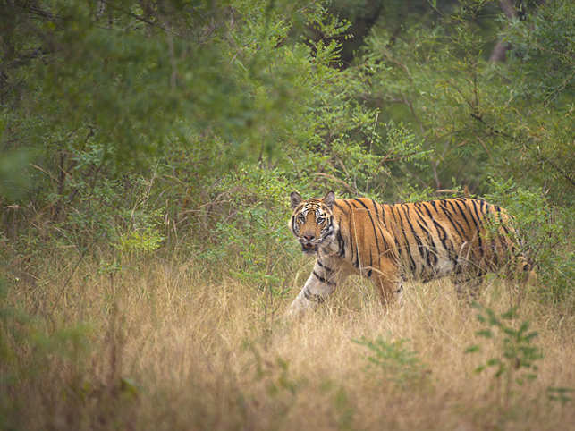 I'm almost king of the jungle. I am the largest of the big cats. And that is why I am the national animal of India. So, why this injustice?