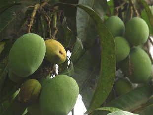 With summer approaching, India is getting ready for its annual mango mania, drawing celebrities to the pricey Alphonso variety and regular folks to the more affordable types.