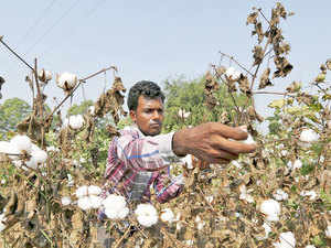 A file photo of a Bt Cotton farmer in Gujarat. The Bharatiya Kisan Sangh and the Swadeshi Jagran Manch are laying the ground for a transformative change in Indian agriculture.