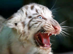 white tigers set to roar again in vindhya region from april 3 - the