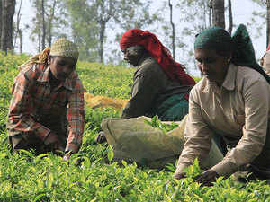 This project will cover predictions on climate change impact in the four tea production regions of Assam: Upper Assam, South Bank, North Bank and Cachar.