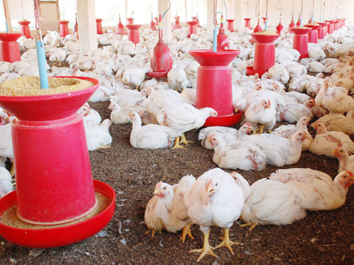 Poultry firms fear profit fall on imports of costly feeds