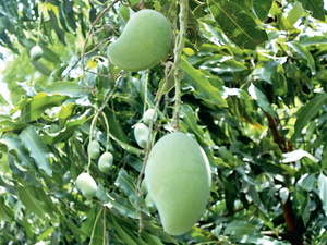 Low-hanging fruit' is a cliche used to describe tasks that are easily achieved — whoever coined it hasn't savoured the Dussehri mango.