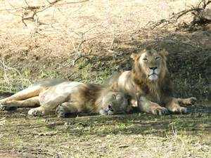 Of the 11that arrived in September 2014, four have died as have five cubs that were born of the original Gir pride. The ninth death was that of Kuber on June 2.