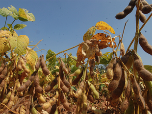 At a time when the entire oilseed processing industry, particularly the soybean processing units are in great distress and facing closure because of cheap oil imports.