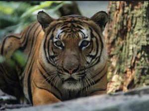 tiger-edit