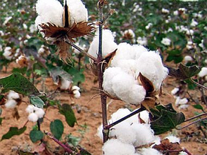 Cotton importers and customs clearing agents claimed that the department had stopped the import of agriculture commodities from India.